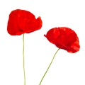 Two red poppies - Lest we forget